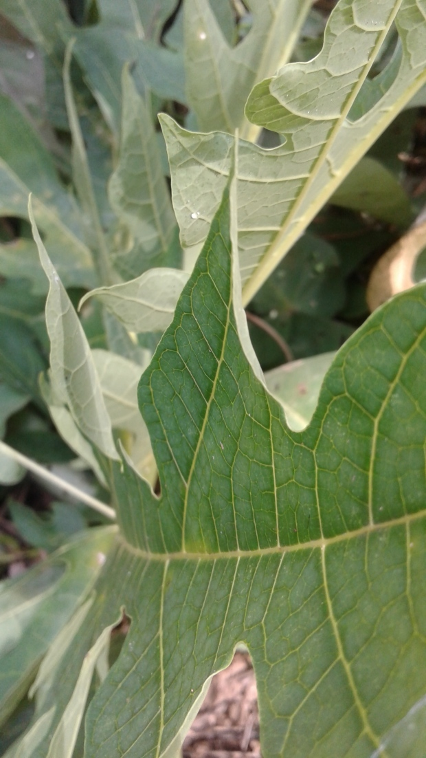 Papaya Leaf 2.jpg